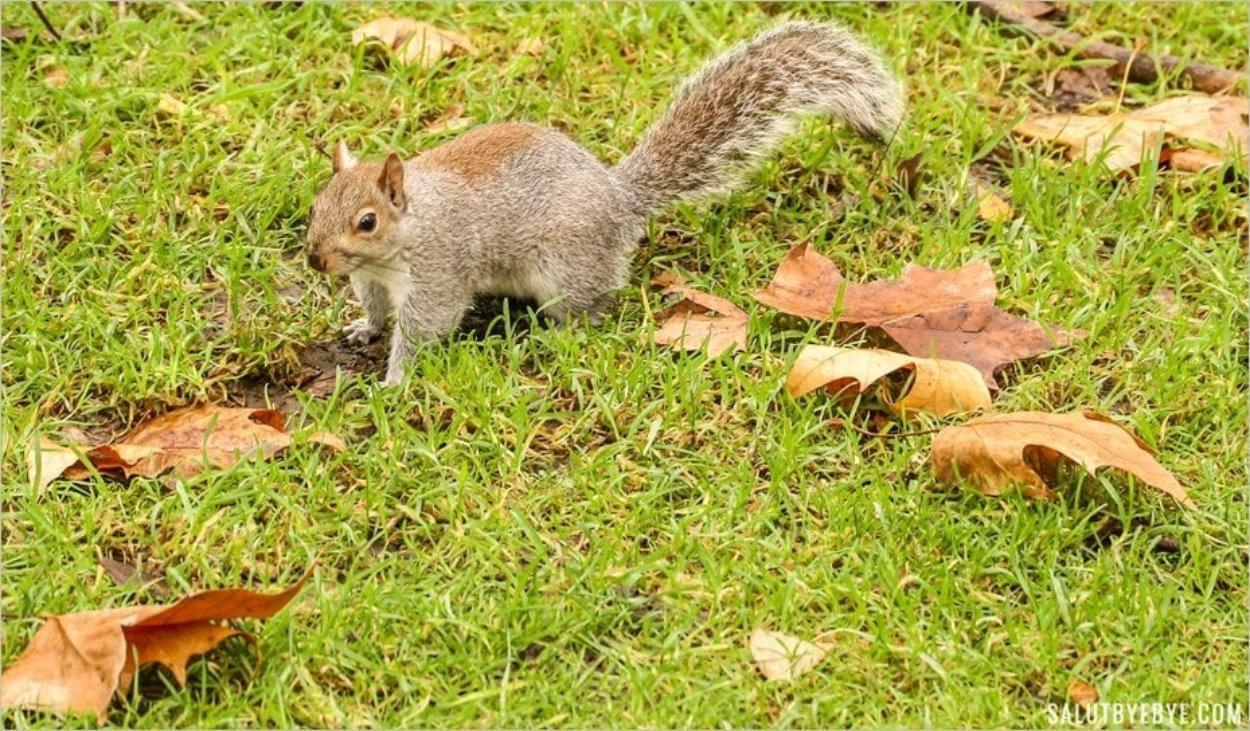 Les écureuils de Hyde Park à Londres