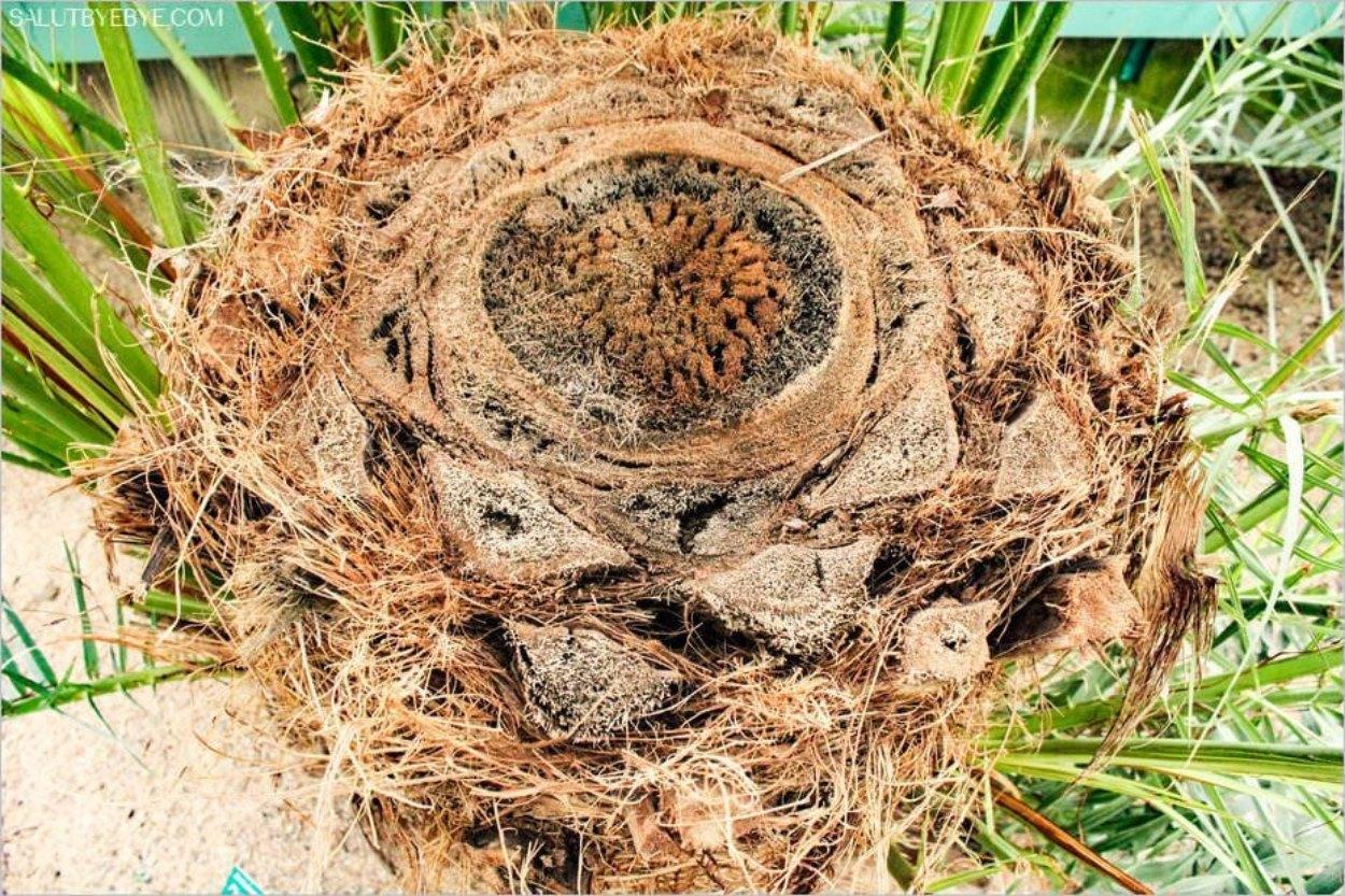 L'intérieur d'un palmier