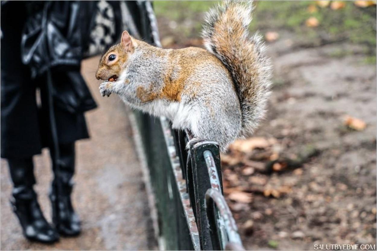 St James Park à Londres en hiver - Un écureuil