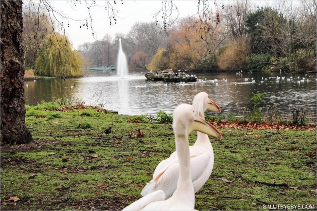 Les pélicans de St James Park