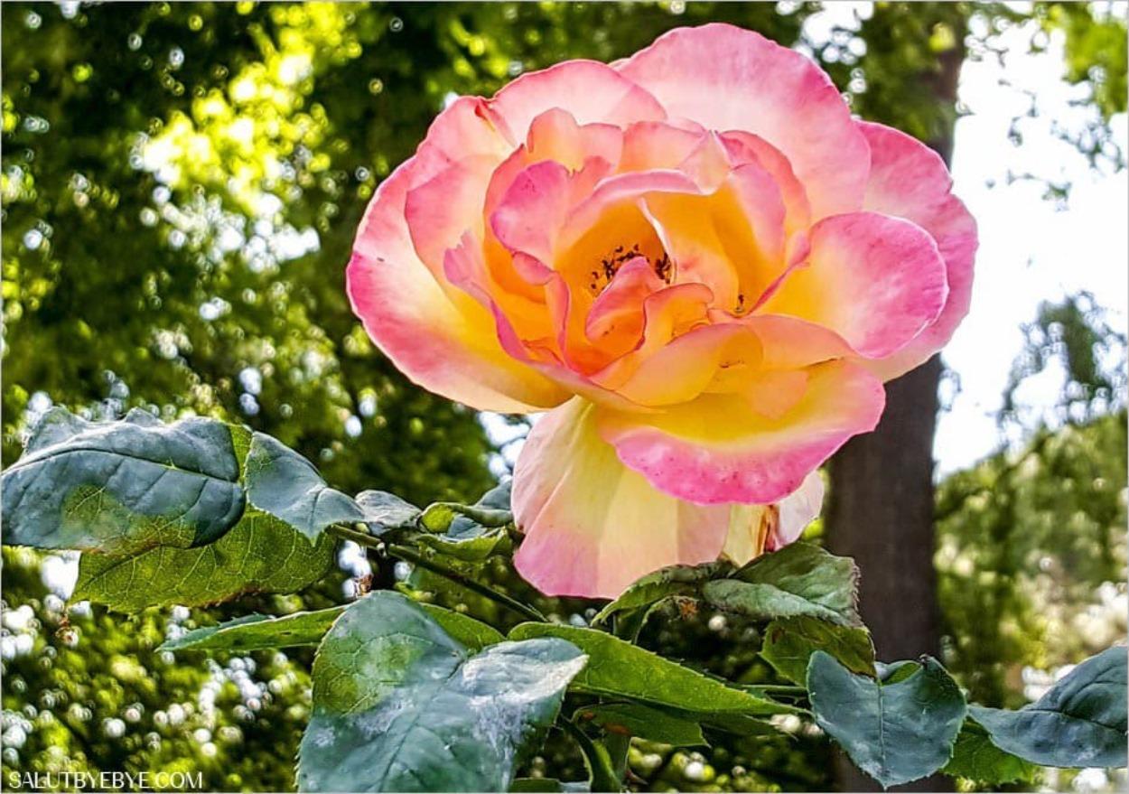 Roseraie du Val de Marne à l'Haÿ-les-Roses