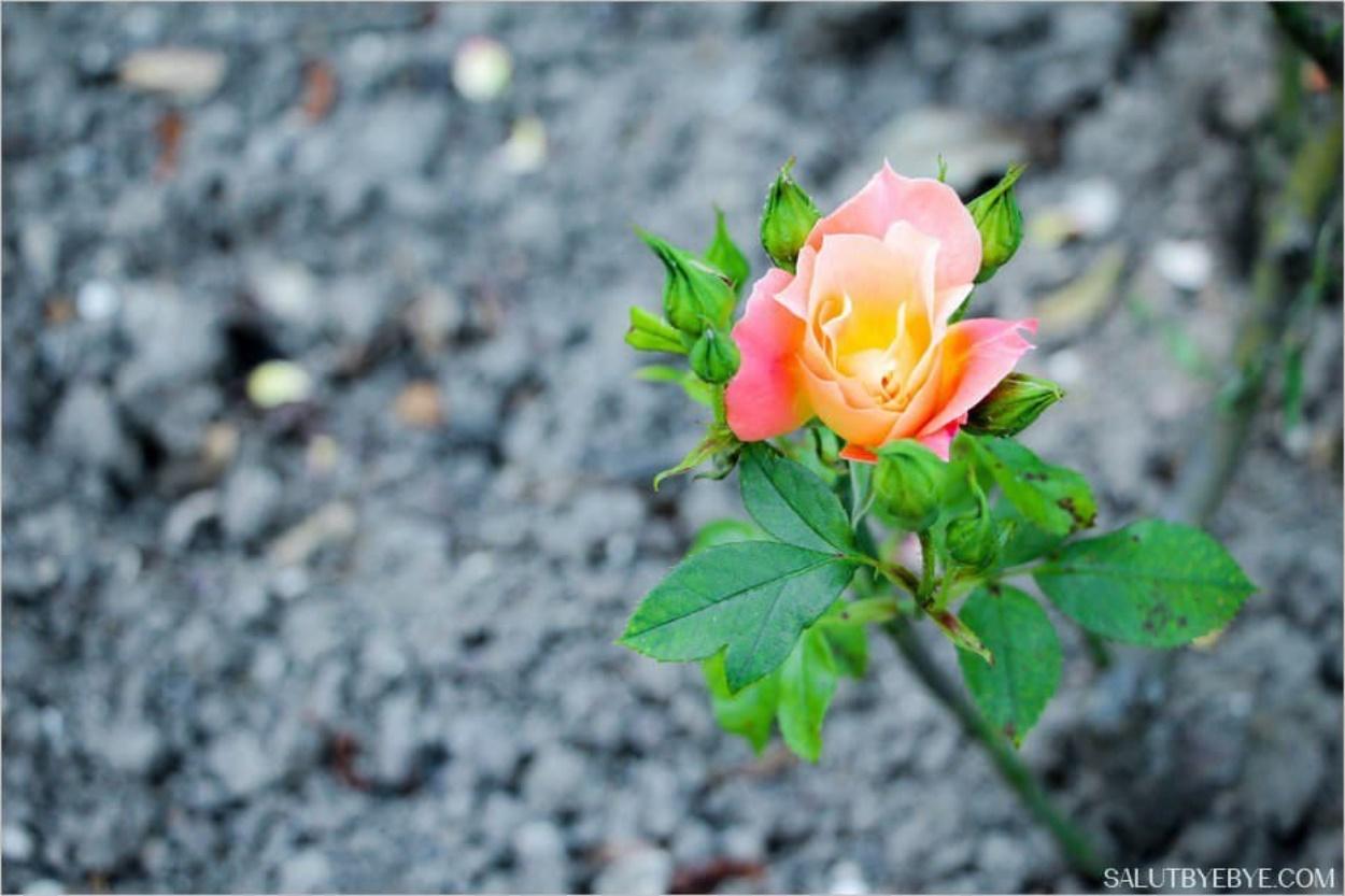 Roseraie de l'Haÿ-les-Roses