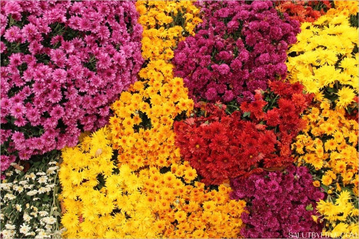 Cimetière du Père Lachaise - Chrysanthèmes
