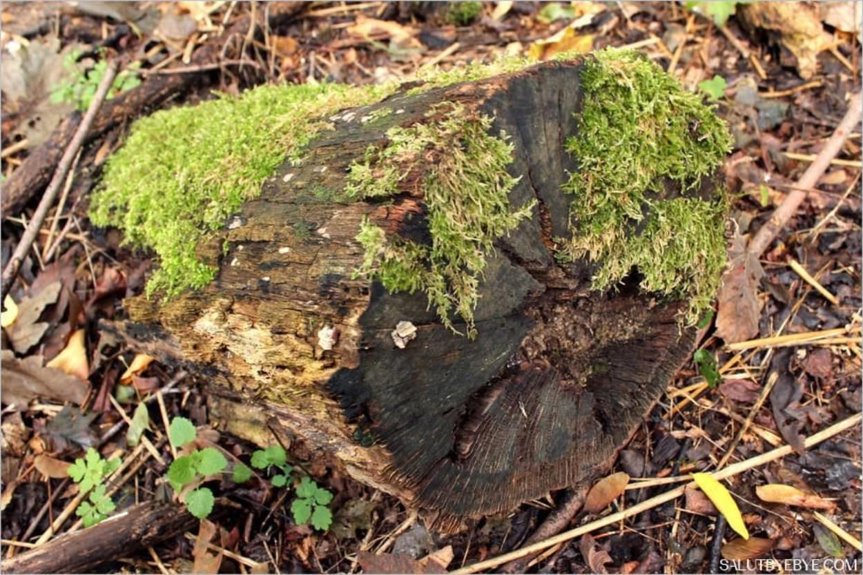 Une souche de bois mort dans le Bois de Boulogne