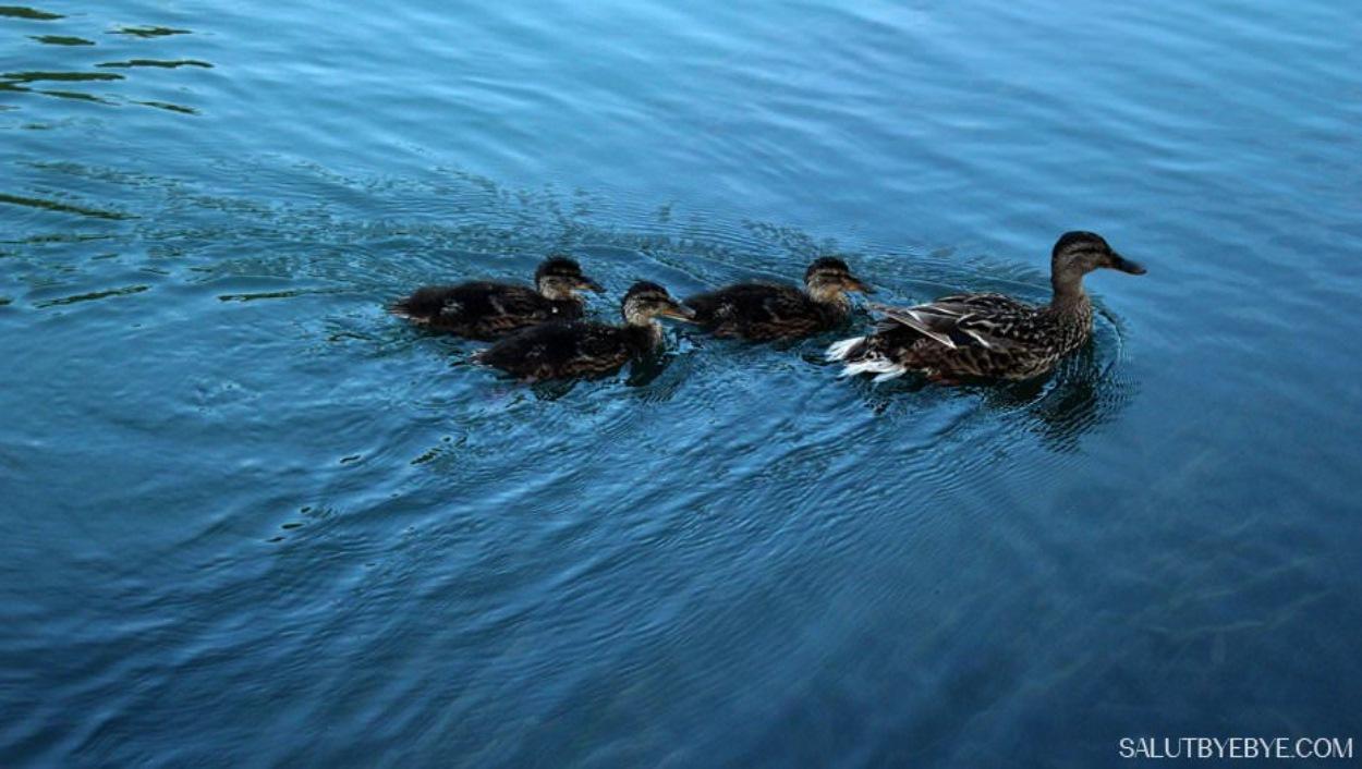 Des canards sur la Marne