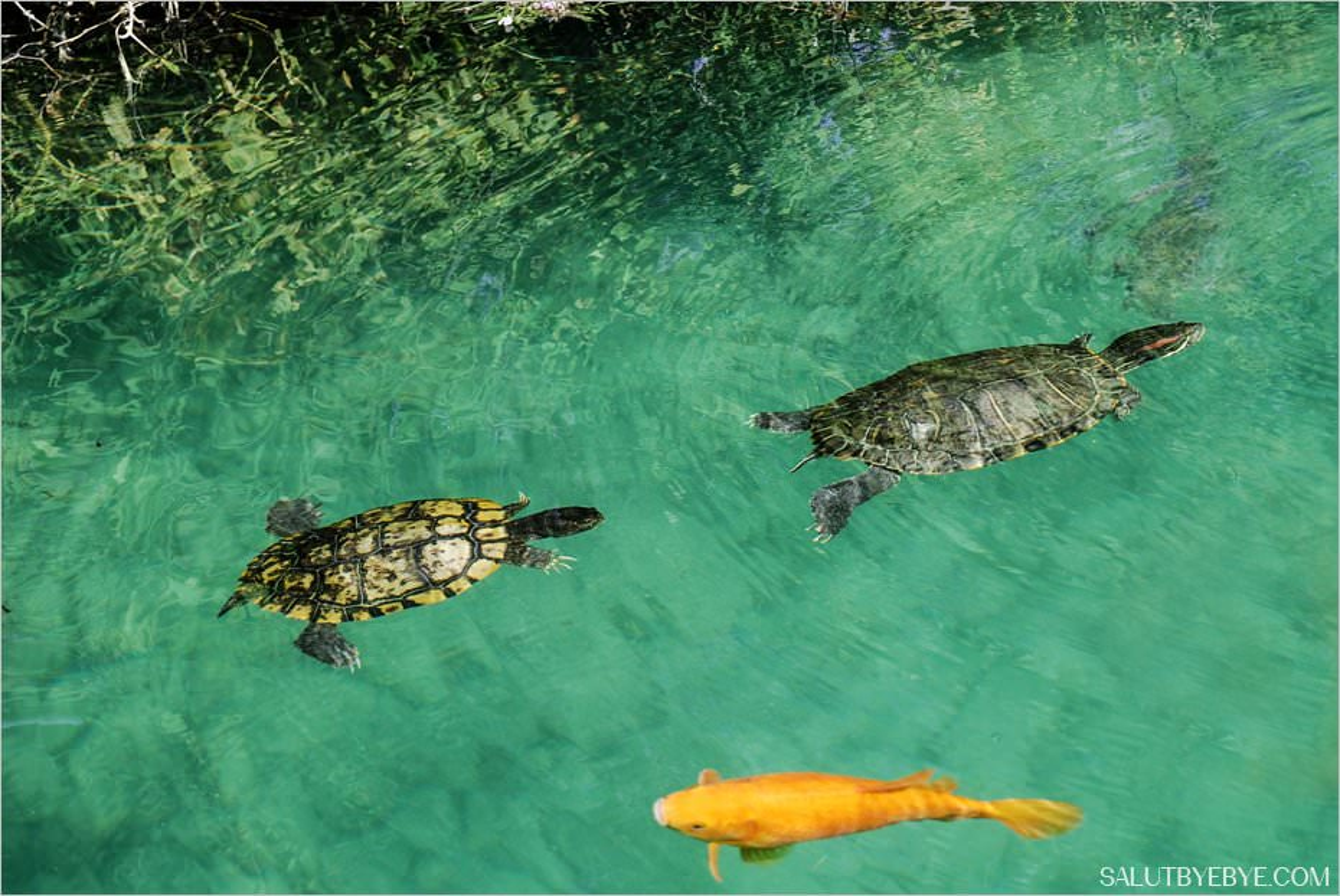 Les tortues du lac de Kournas en Crète
