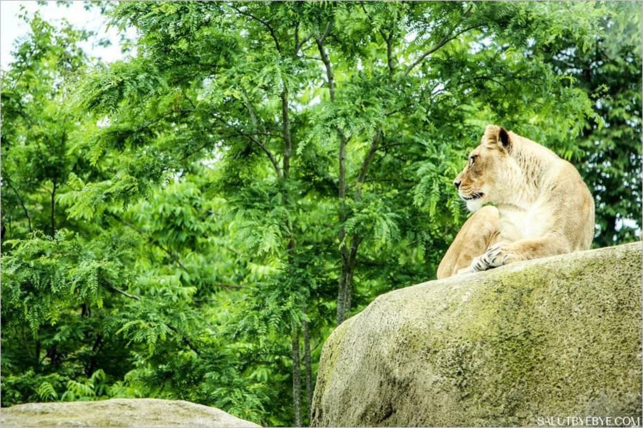 Lions du zoo de Vincennes