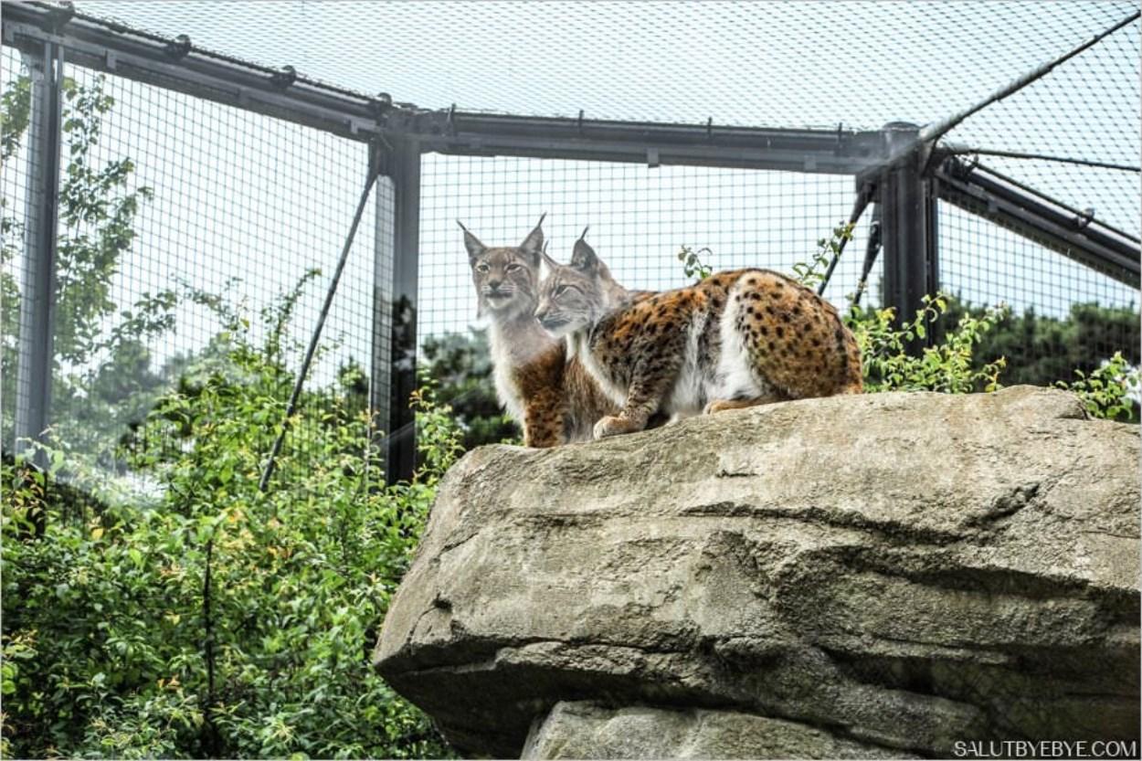 Les lynx du zoo de Vincennes