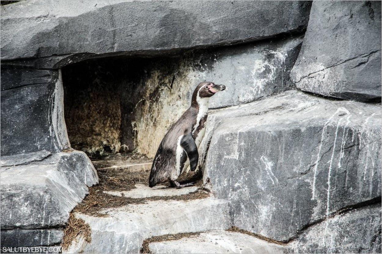 Zoo de Vincennes : un manchot