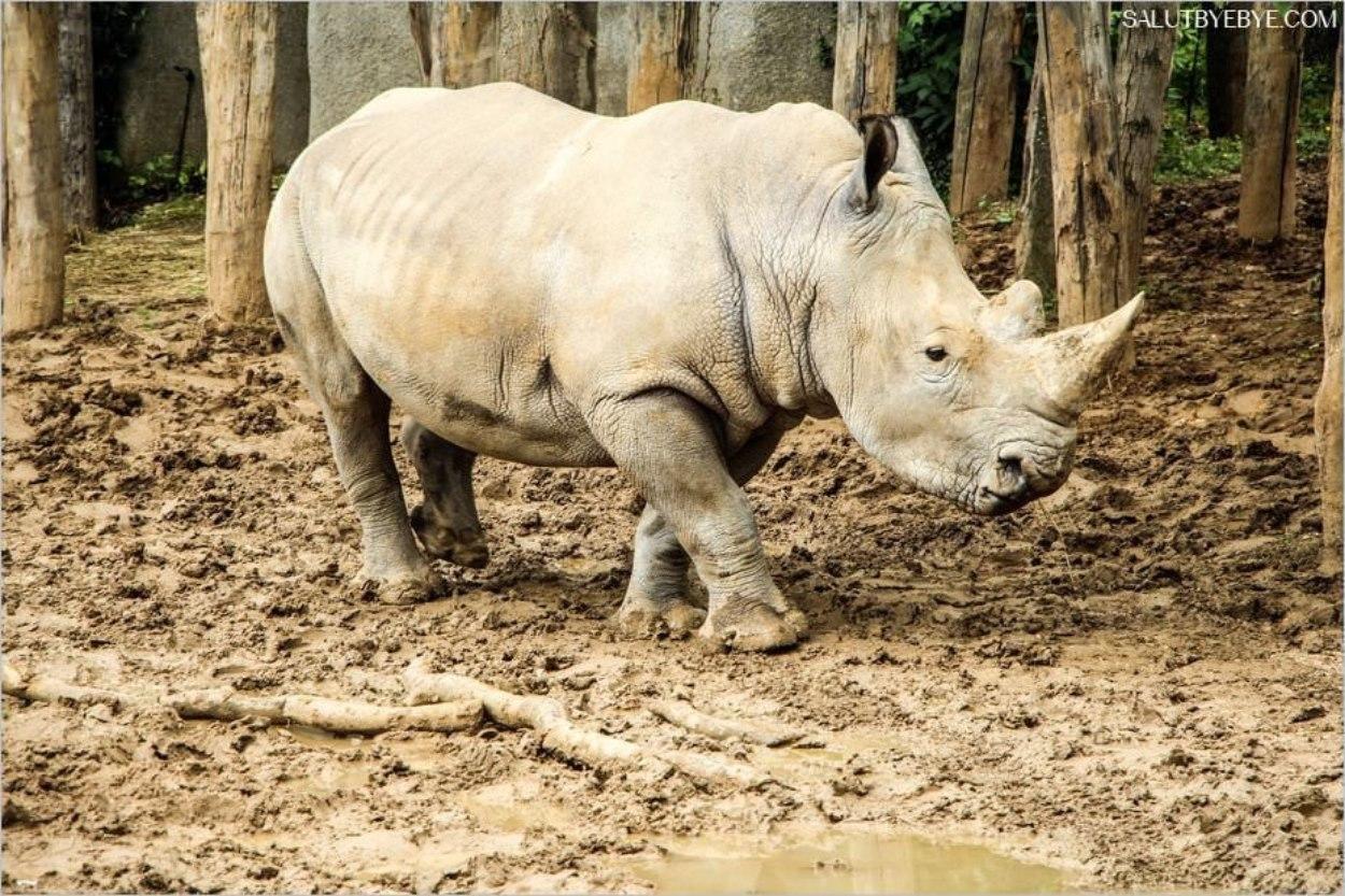 Les rhinocéros au zoo de Paris
