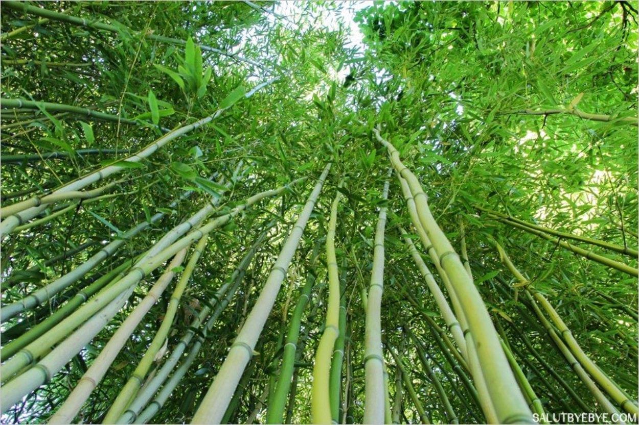 Les bambous du Jardin Vert à Bagatelle