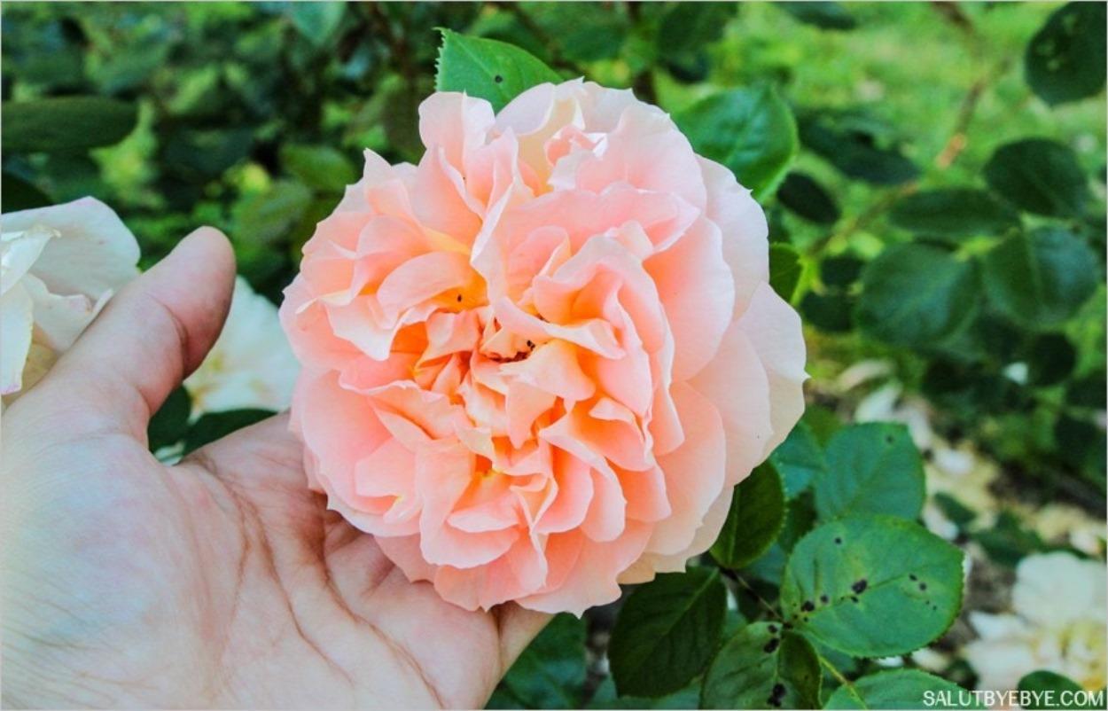 Une jolie rose dans les Jardins de Bagatelle à Paris