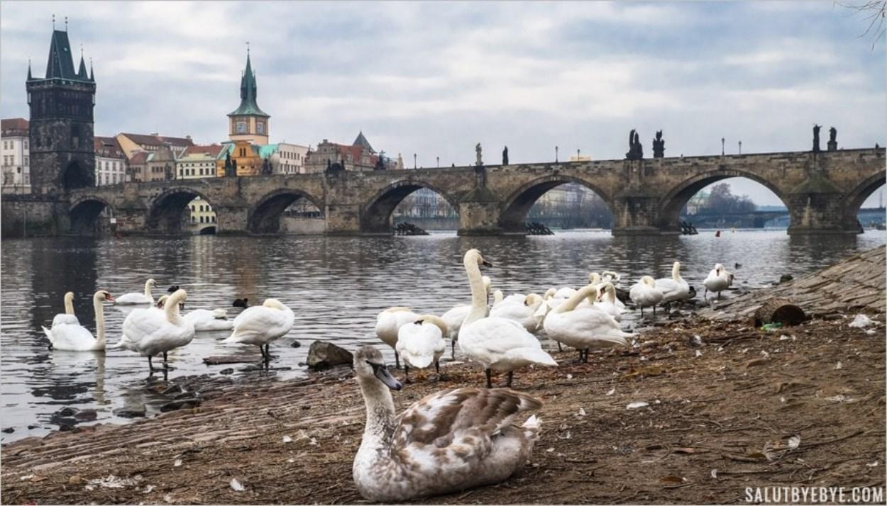 Les cygnes près du Pont Charles à Prague