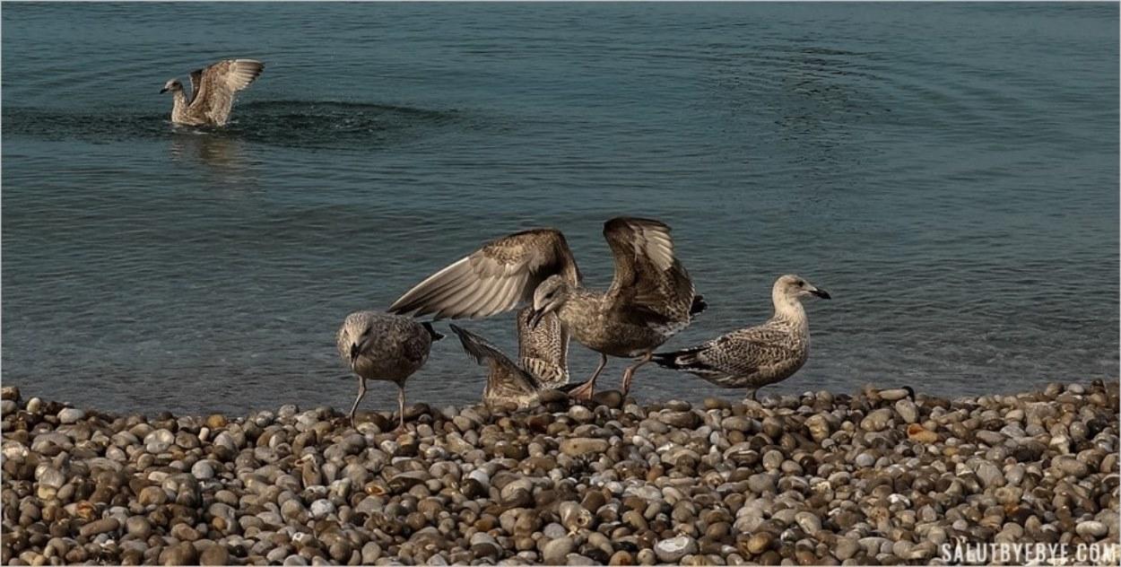 Goélands argentés sur la plage d'Etretat