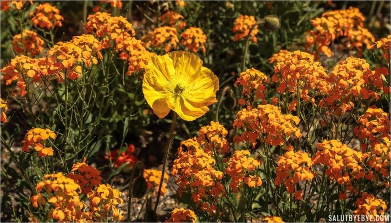 Pavot jaune - Parc Floral de Vincennes