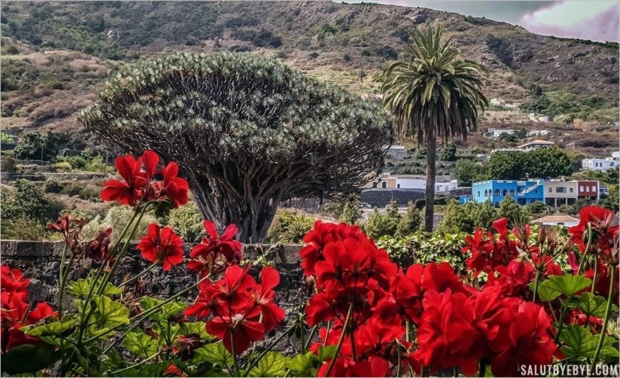 Le célèbre dragonnier d'Icod de los Vinos (Tenerife)