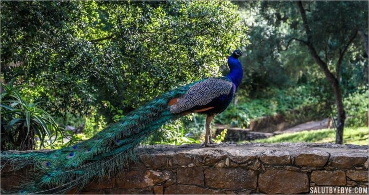 Paon dans le parc Marechal Carmona