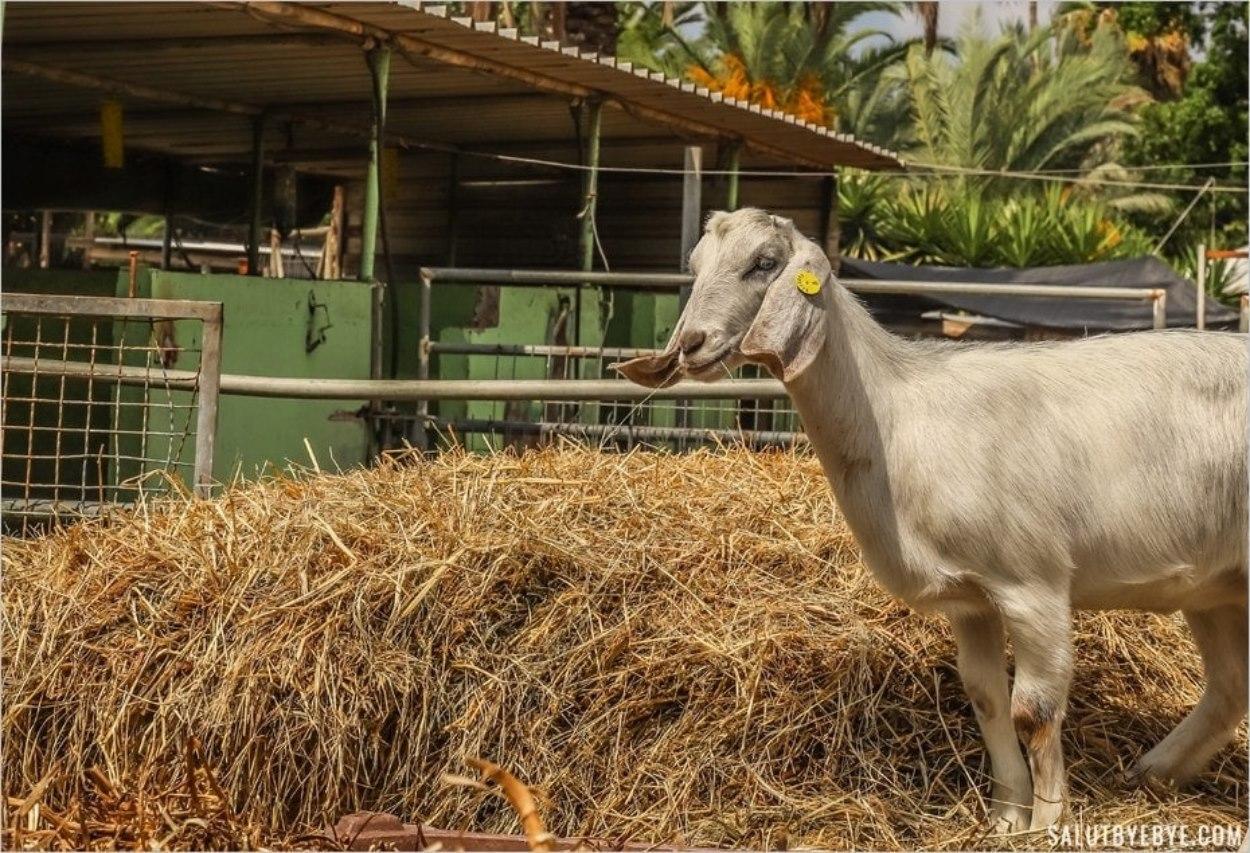 Une chèvre du kibboutz Ma'agan Michael