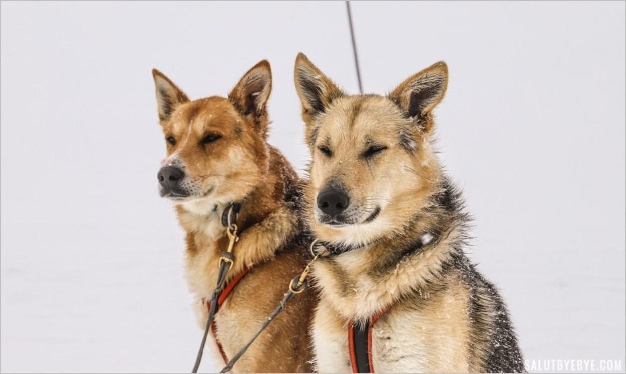 Les chiens de Husky Adventure à Val Cenis