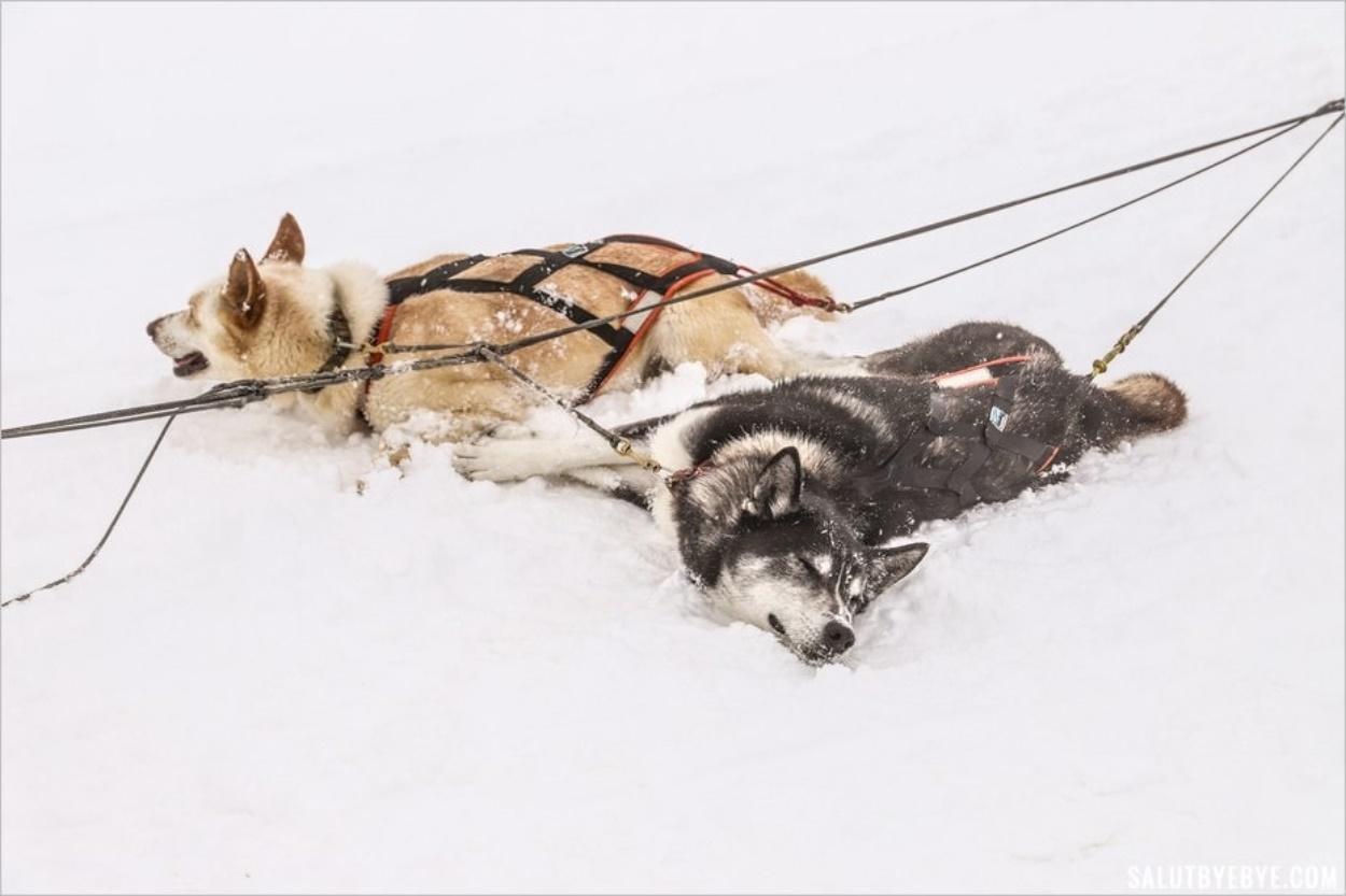 Les chiens de traîneau se roulent dans la neige