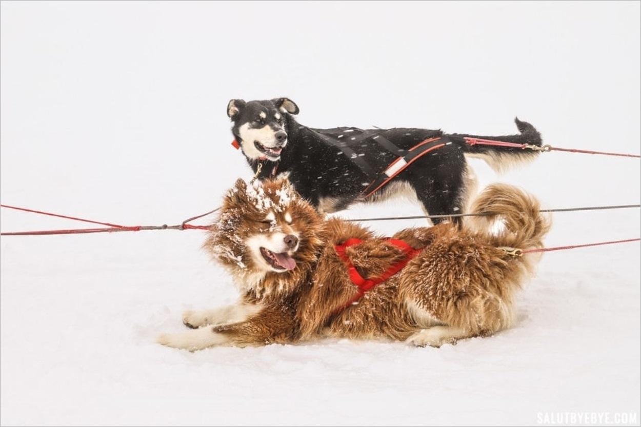 Camaraderie entre chiens de traîneau à Val Cenis
