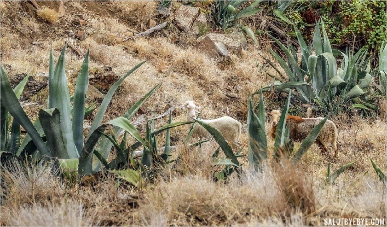 Des chèvres au milieu de l'aloé vera sur l'île de La Gomera