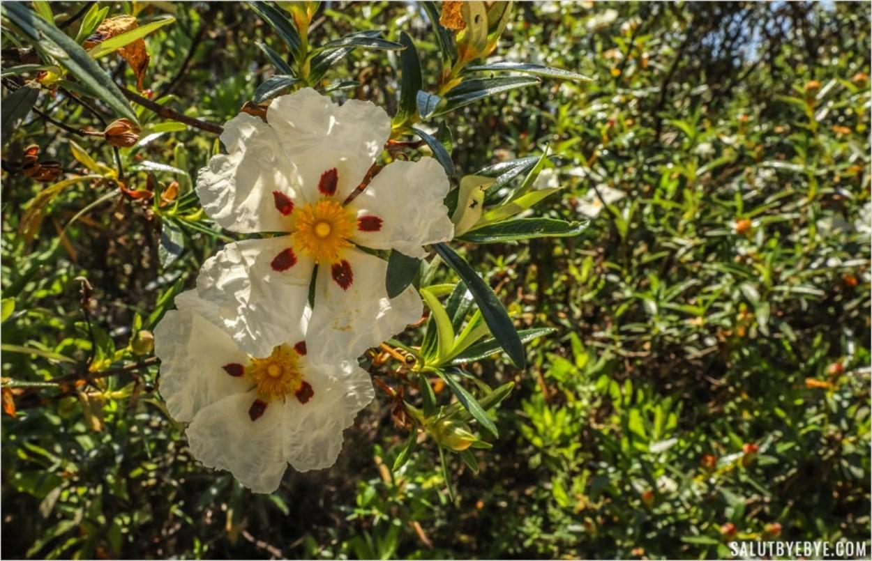 La beauté de la flore dans la région de Sesimbra au Portugal