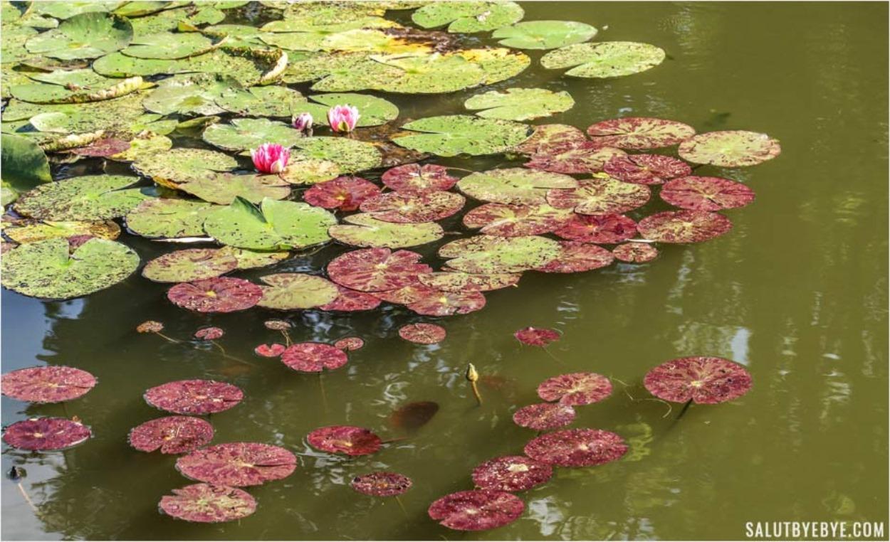 Les nymphéas du jardin de Monet
